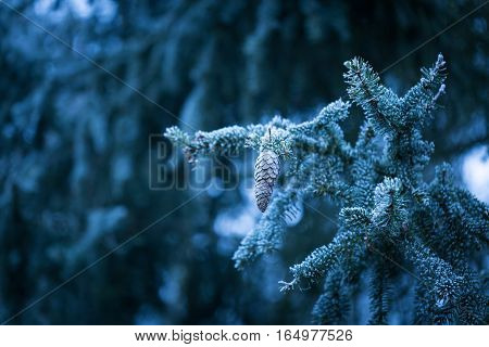 Spruce Tree Branch With Rime