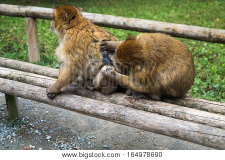 Monkey Forest - Two Monkeys Groom Eachother