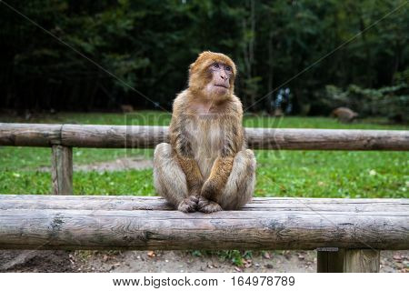 Monkey Forest - Grinning