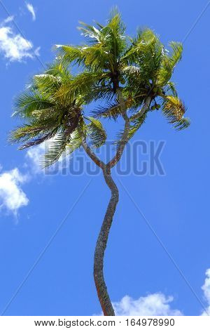 Double-headed coconut tree on Tongatapu island in Tonga. Tongatapu is the main island of the Kingdom of Tonga.