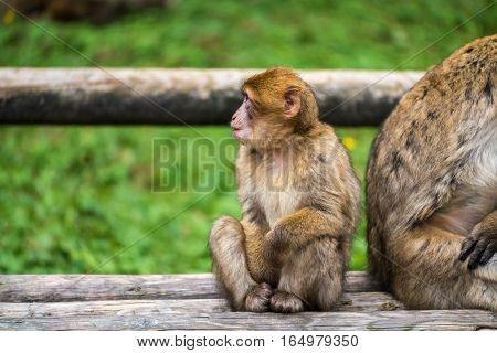 Monkey Forest - Sitting Next To Mother