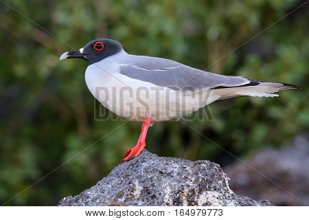 Swallow-tailed Gull On Genovesa Island, Galapagos National Park, Ecuador