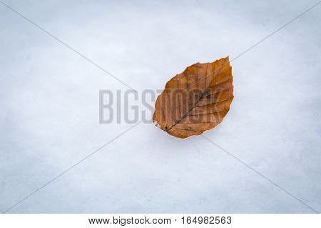Beech Leaf Lying On White Snow