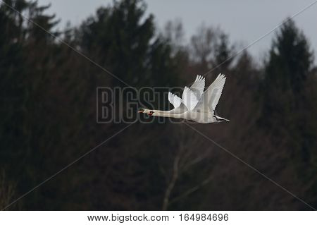 Two mute swans (cygnus olor) in parallel flight
