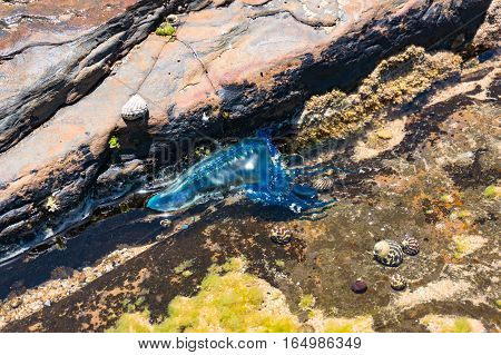 Blue Bottle Or Portuguese Man Of War Jellyfish In Water