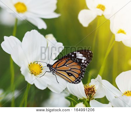 Orange butterfly on white cosmos flowers fields.