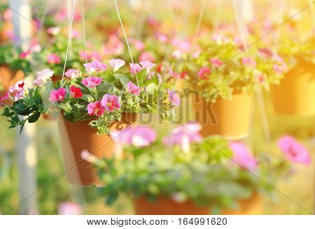 Colorful petunias flowers in hanging flower pot at sunrise.