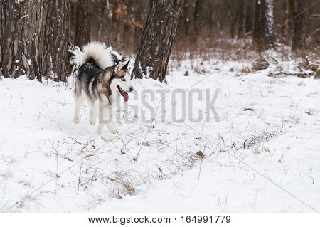 Husky on a walk. Siberian Husky frolics in the winter forest.