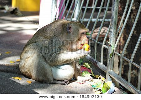 Pregnant Monkey enjoy to be eating orange on the sideway.