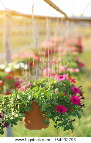 Violet petunia flowers in hanging flower pot at summer.