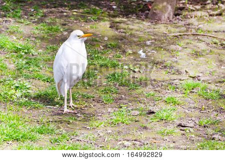 Funny angry white bird Cattle egret aka Bubulcus ibis background with place for text