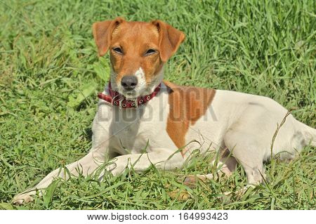 A close up of the Parson Russell terrier.