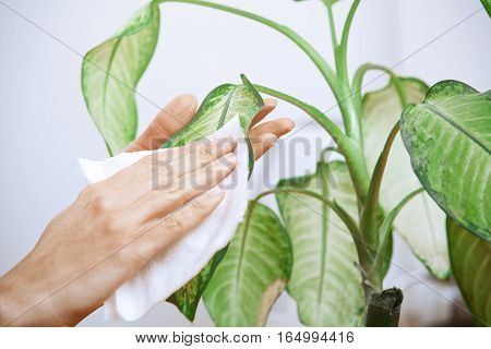 Hand of the woman wiping leaves of potted plant