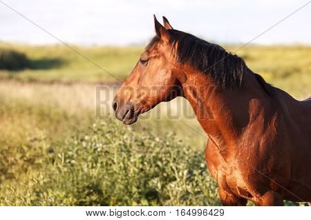 Bay horse stands on green field and looks into the distance