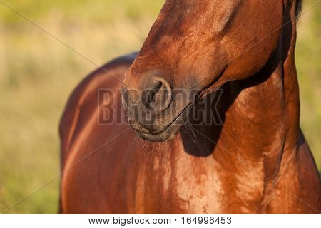 Nose brown horse close-up on a background of grass