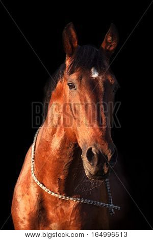 Portrait of a bay horse on a black background. Vertical.