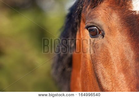 Bay horse on a background of green grass closeup