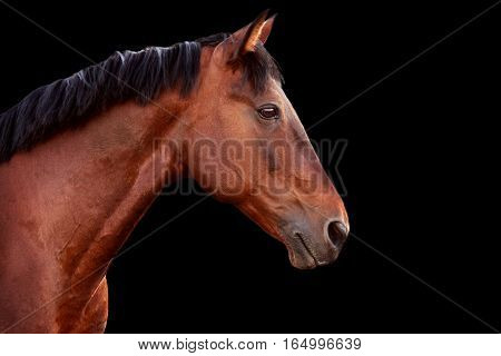 Portrait of a bay horse on a black background. Horizontal.