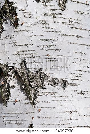 Texture of birch bark background. Almost abstraction