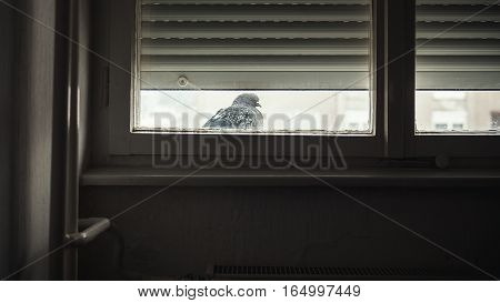 Winter season a huddled pigeon in front of window.