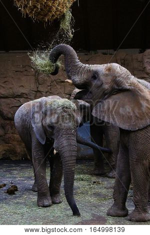 Three elephants mammals eat hay and they have rise trunk.