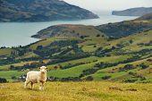 New Zealand landscape, Banks Peninsula poster