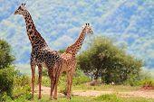Giraffes in Lake Manyara national park, Tanzania poster
