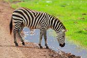 Zebra in Ngorongoro conservation area in Tanzania poster