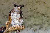 The barred eagle-owl Bubo sumatranus also called the Malay eagle-owl is a species of owl in the Strigidae family. Kuala Lumpur Bird park, Malaysia poster