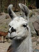 Close-up of a beautiful llama (lama glama) in zoo in Gdańsk (Poland) poster