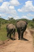 African traffic jam on dirtroad caused by elephants poster