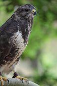 Portrait of a majestic common buzzard  (Buteo buteo) poster