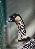 Canada goose (Branta canadensis) poster
