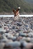small dog on a pebble beach poster