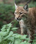 Close-up portrait of an Eurasian Lynx (Lynx lynx) poster