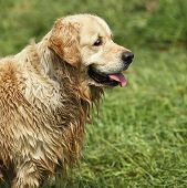 Golden retriever after a bath. poster