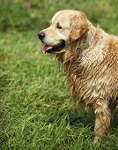 golden retriever after bath poster