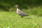Dove in the grass with blurry background and foreground poster
