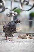 pigeons on city street (shallow DOF) poster