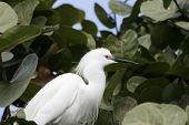 A beautiful White Snowy Egret a top of the trees in Florida poster