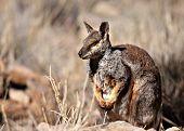 Rock Wallaby, NT Australia poster