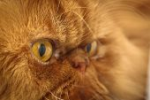 Muzzle red Persian cat close-up eyes nose fur poster