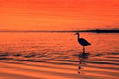 Water bird at sunset - port stephens poster