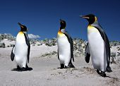 Three King Penguins at Volunteer Point on the Falkland Islands poster