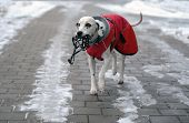 Dalmatian dog in red coat in winter time carrying muzzle in his mouth poster