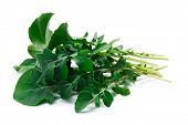Fresh big-leaved arugula (Eruca sativa) leafy salad. Clipping paths shadow separated. Natural daylight color poster