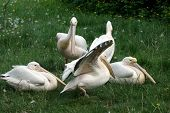 many pelicans on green grass poster