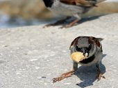 little sparrow with piece of food in beak poster