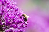 Bee on a violet flower poster