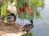Duck and Drake on a shore of the pond of Ramat Gan Park Israel February 23 2007 poster
